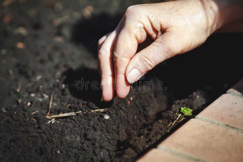 Sementes da sementeira da mão no close-up à terra foto de stock