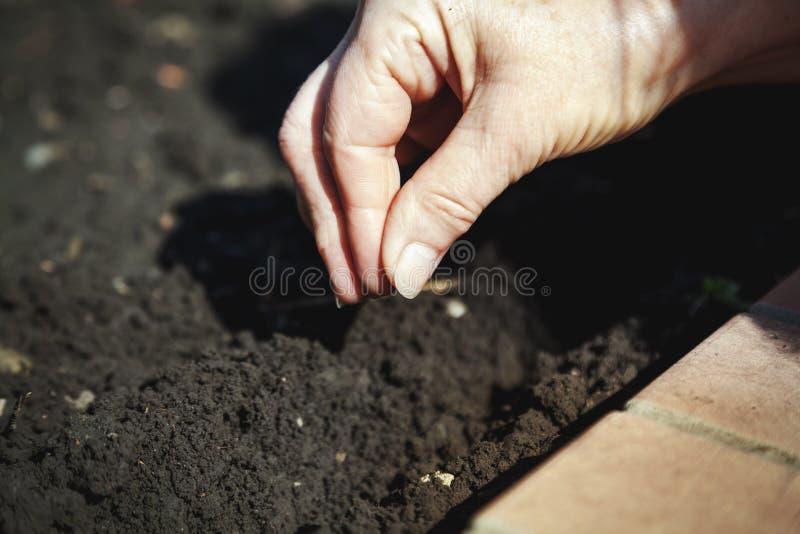 Sementes da sementeira da mão no close-up à terra foto de stock royalty free