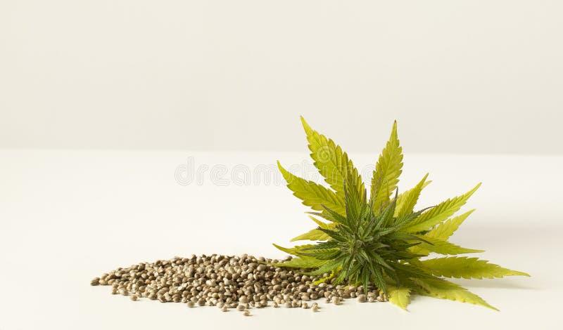 Sementes de cânhamo cruas da flor verde do cannabis imagens de stock royalty free