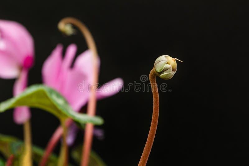 Sementes de flor do cíclame em um fundo preto fotografia de stock royalty free