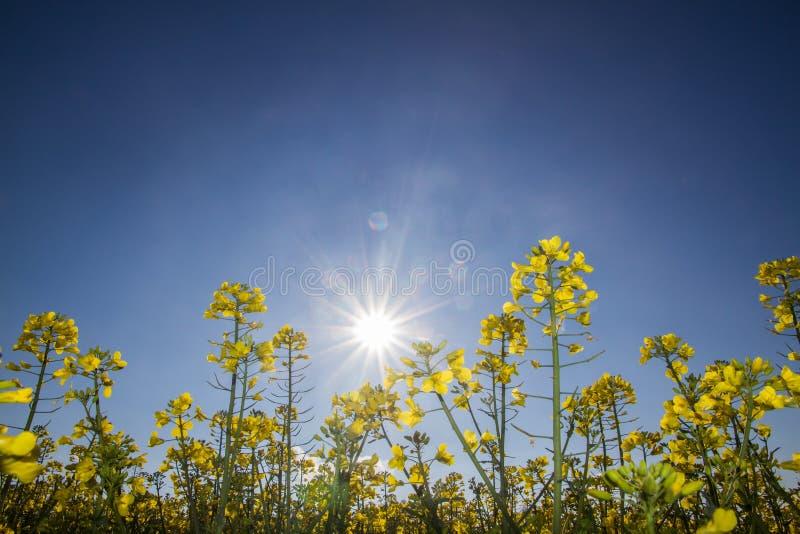 Sementes de mostarda contra o sol fotos de stock royalty free