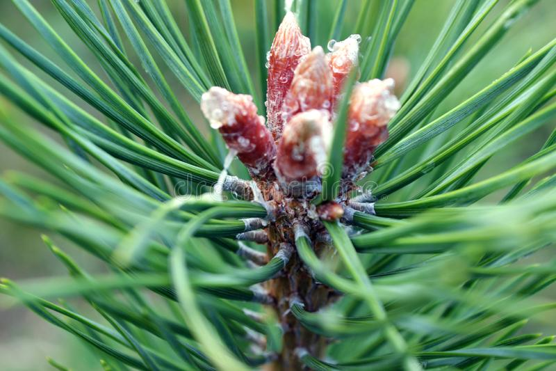 Sementes de pinho em uma árvore do boro fotos de stock