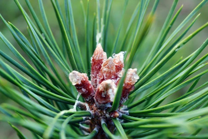 Sementes de pinho em uma árvore do boro imagem de stock royalty free
