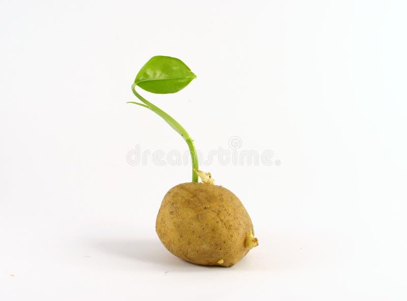 Sementes de Potatoe imagem de stock