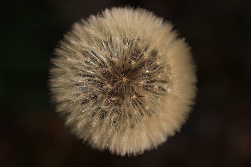 Sementes do dente-de-leão em um fundo preto foto de stock