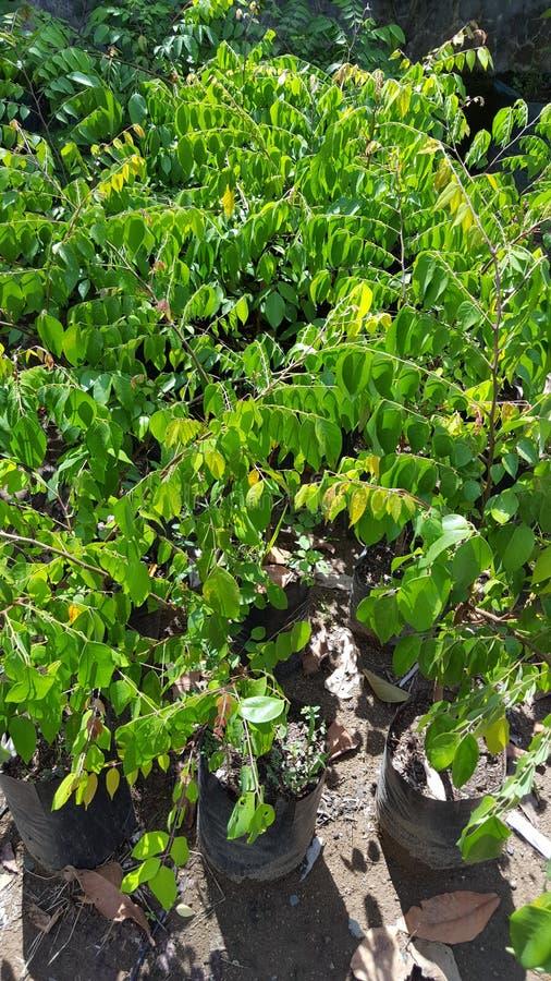 Sementes do fruto de estrela, plantas que são facilmente fotos de stock