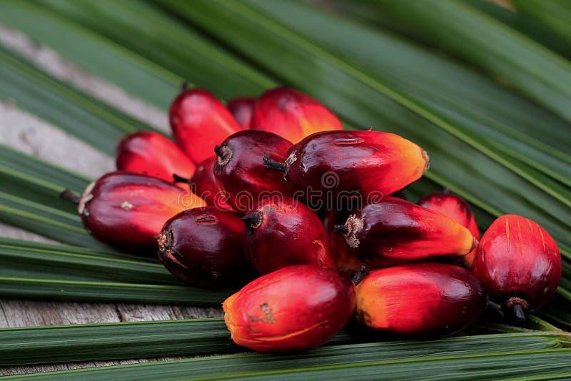 Sementes frescas da palma de petróleo fotografia de stock