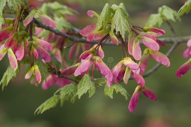 Sementes voadas rosa da árvore de bordo imagens de stock