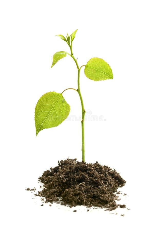 Semenzale dell'albero che cresce isolato su bianco fotografia stock