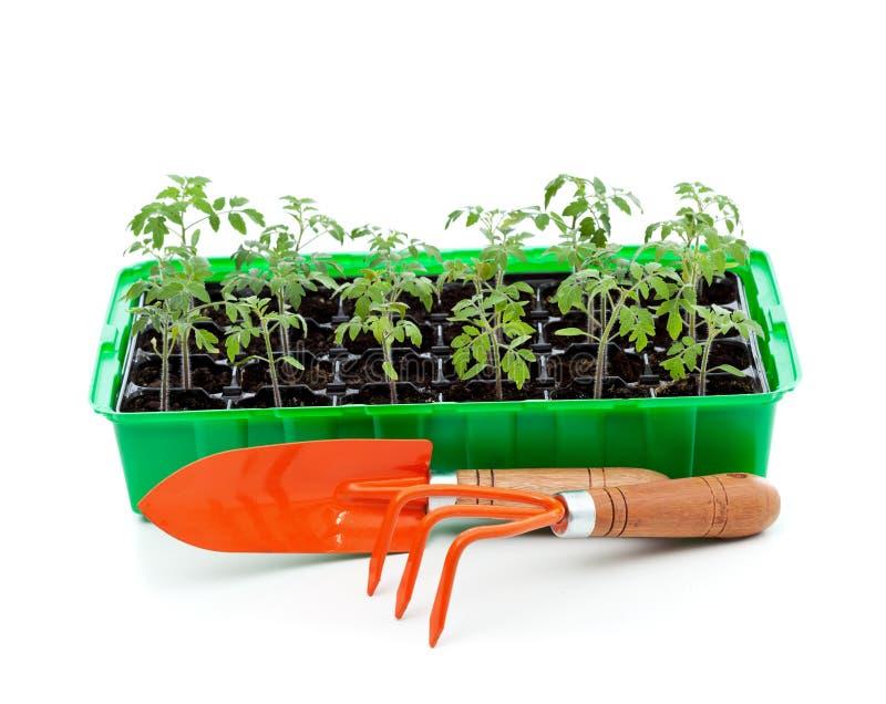 Semenzali in cassetto di germinazione con gli strumenti di giardinaggio fotografie stock libere da diritti