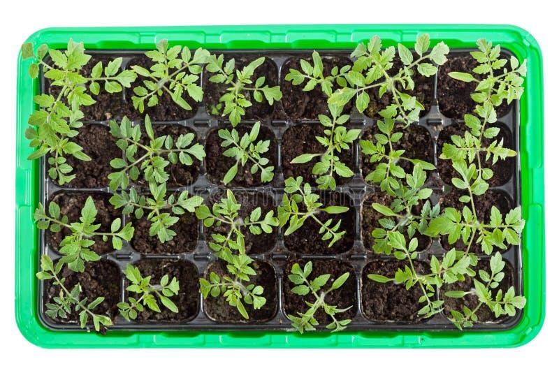 Semenzali del pomodoro in cassetto di germinazione fotografia stock