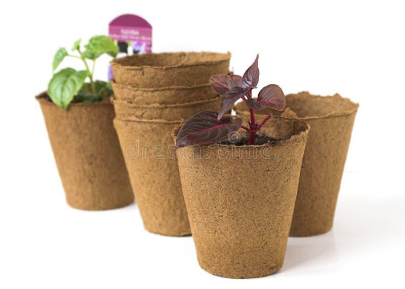 Semenzali della pianta in POT della torba immagine stock libera da diritti