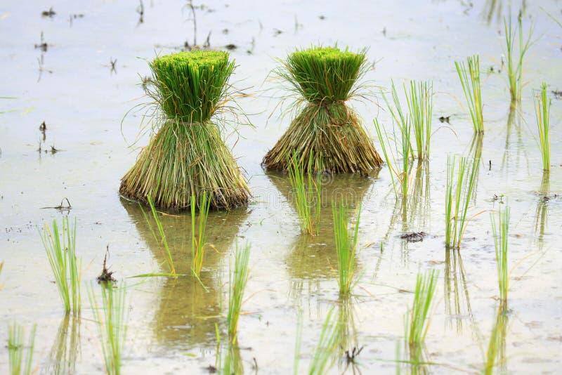 Semenzali di riso fotografia stock