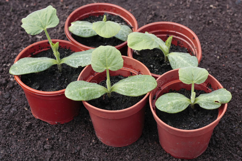 Semenzali di verdure che crescono in POT in primavera fotografia stock