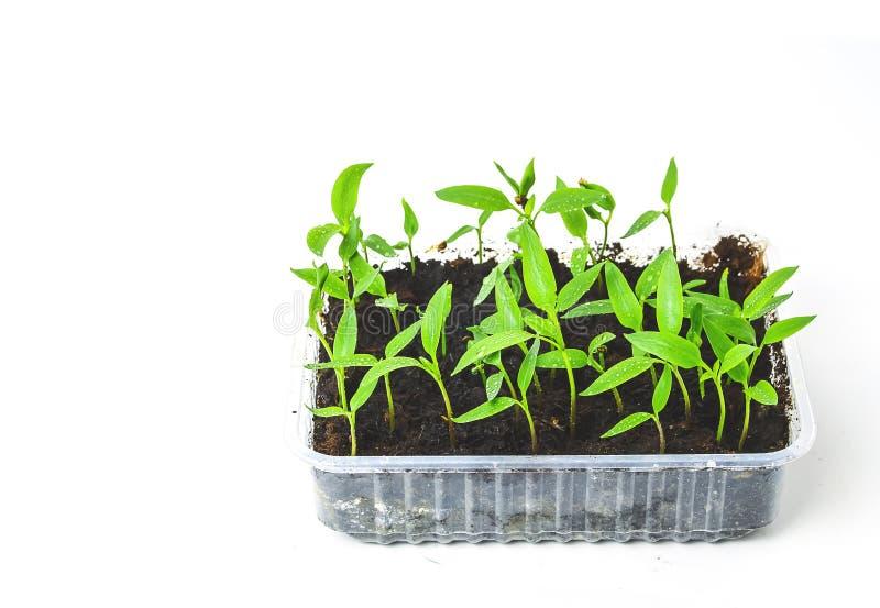 Semenzali in POT della torba Il bambino pianta la semina, vassoi del buco nero per agricolo fotografia stock libera da diritti