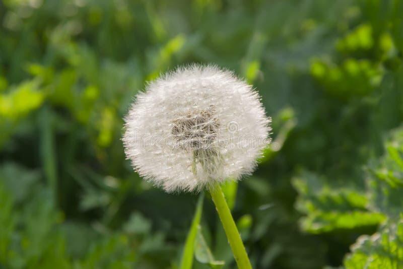 Semez la tête du pissenlit sur le fond d'herbe photo stock
