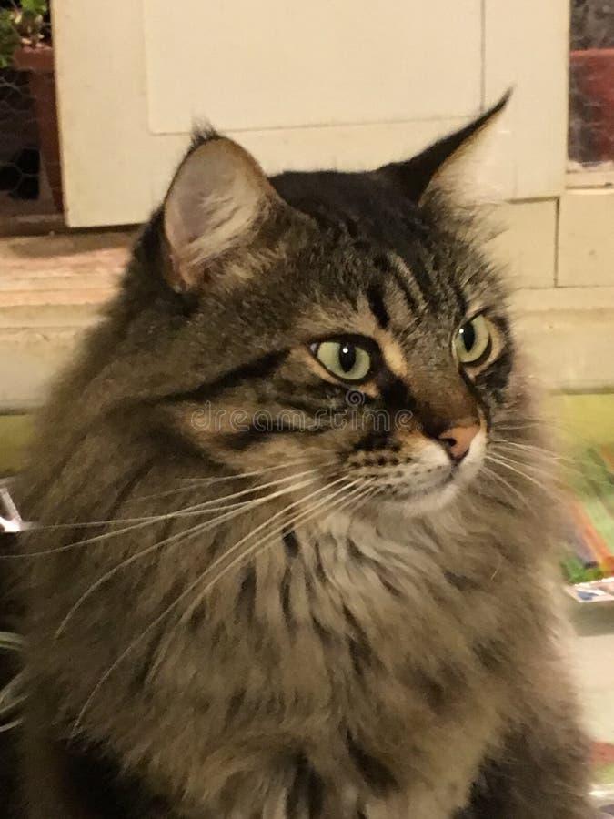 Semi длинный кот волос стоковое фото