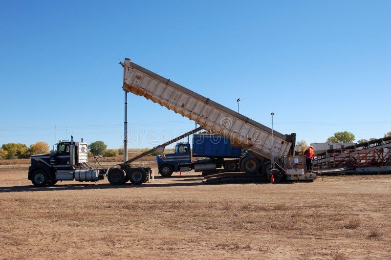 Semi перевезите сбрасывать на грузовиках свекловицы на западной земле кучи сахара во время сбора падения стоковые фото
