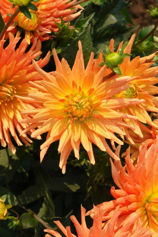 Free Semi-cactus Dahlia Of The `Gold Crown` Variety - A Gorgeous Variety Which Produces Large Spiky Orange Flowers Royalty Free Stock Images - 209666259