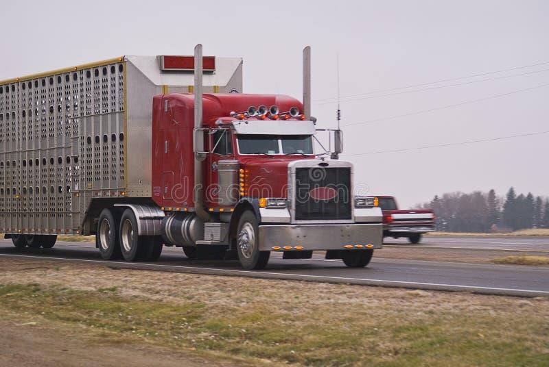 Semi camion tirant une remorque de bétail image stock