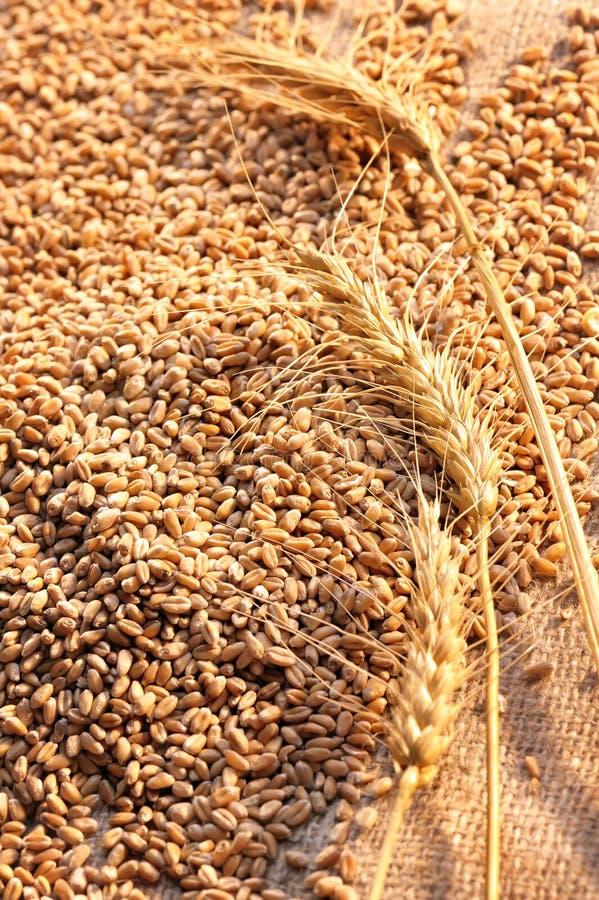 Semi del frumento su materiale approssimativo immagine stock libera da diritti