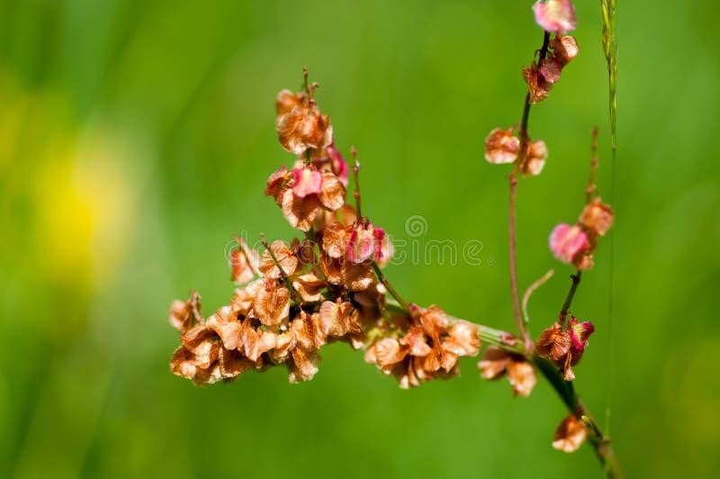 Semi dell'acetosa comune del ritratto della pianta immagini stock libere da diritti