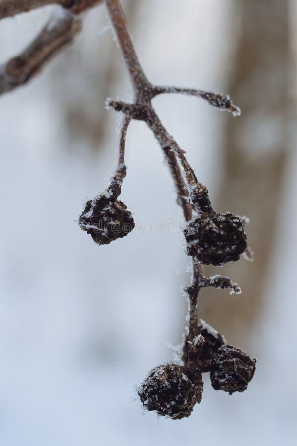 Semi dell'albero di sughero dell'Amur fotografia stock libera da diritti