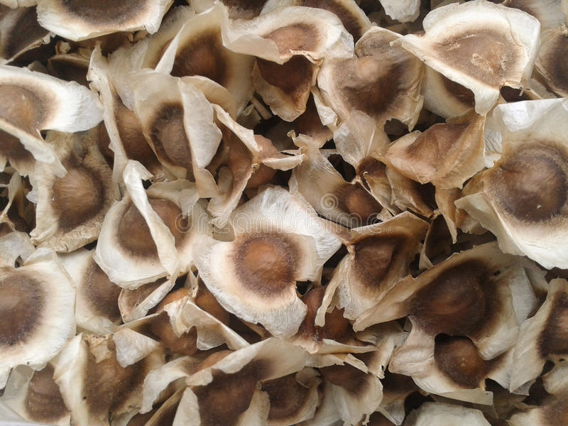 Semi della moringa oleifera fotografie stock