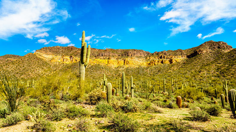 The semi desert landscape of Usery Mountain Reginal Park with many Saguaru, Cholla and Barrel Cacti royalty free stock photo