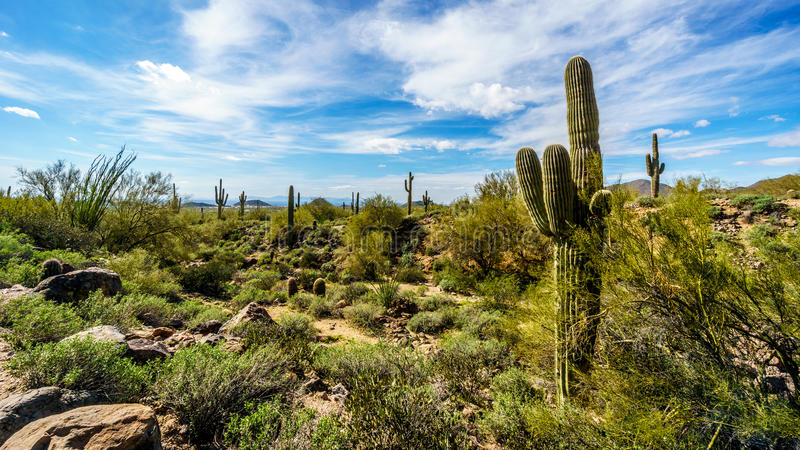 The semi desert landscape of Usery Mountain Reginal Park with many Saguaru, Cholla and Barrel Cacti stock photography