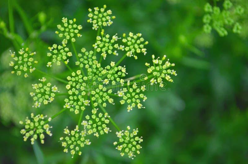 Semi di coriandolo, foglie verdi fresche del coriandolo su fondo di legno fotografia stock