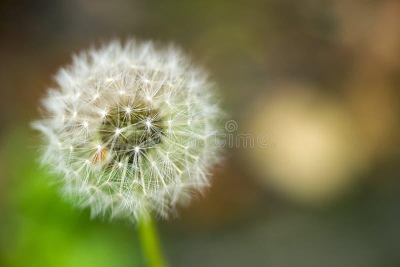 Semi di Dandelion che si chiudono su fondo sfocato naturale Fandelioni di colore bianco, fondo naturale di molla verde immagini stock libere da diritti