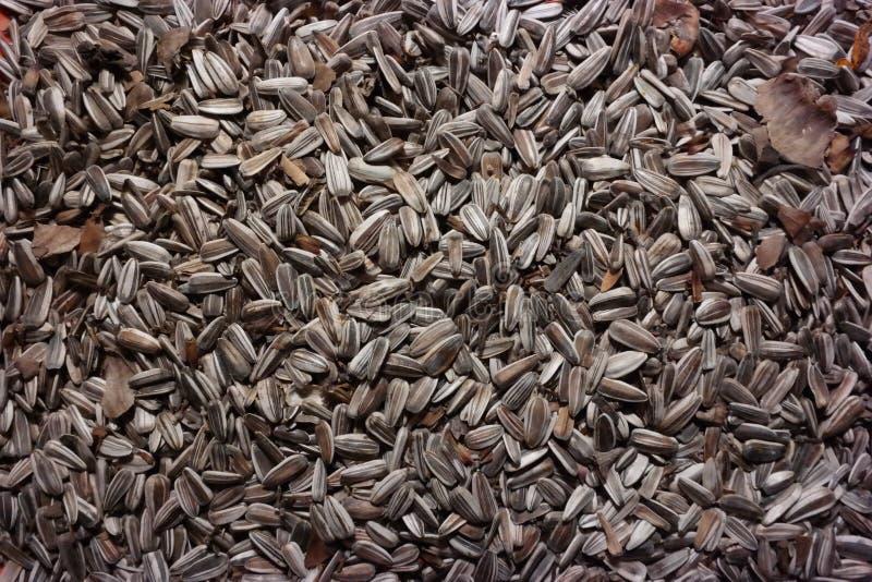 Semi di girasole, alimento di uccello all'inverno, semi oleiferi fotografia stock