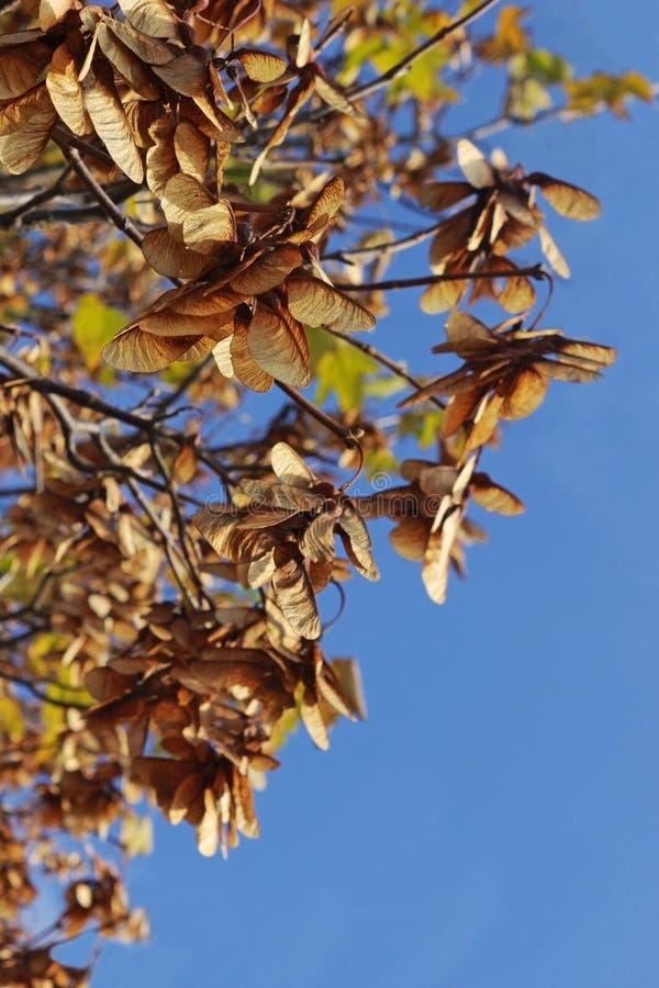 Semi di marrone dell'oro su un albero di acero immagine stock