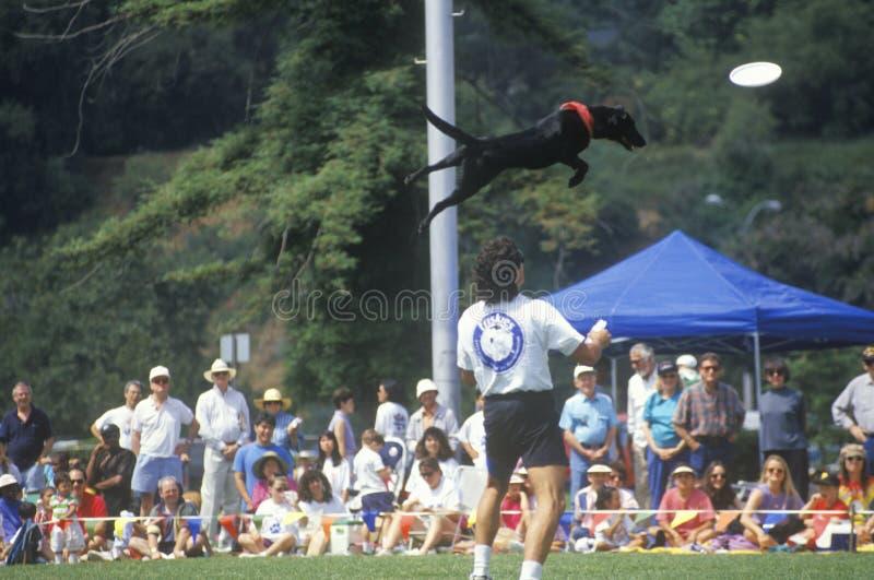 Semi-Finals собачьего состязания Frisbee, стоковое фото rf