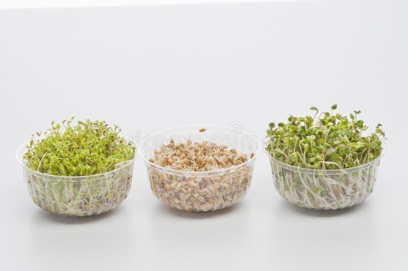 Semi germinati di crescione, ravanello, frumento immagine stock