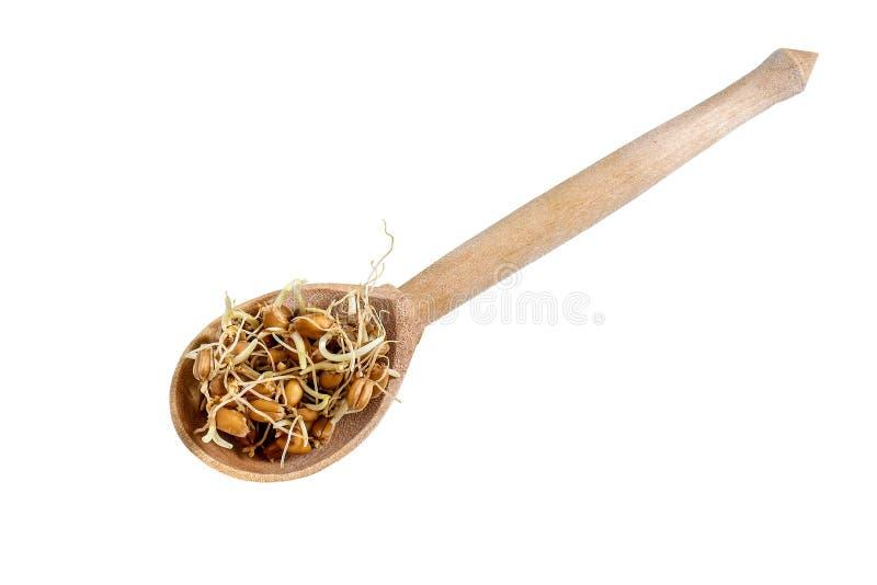Semi germinati freschi del grano in cucchiaio su fondo bianco immagine stock libera da diritti
