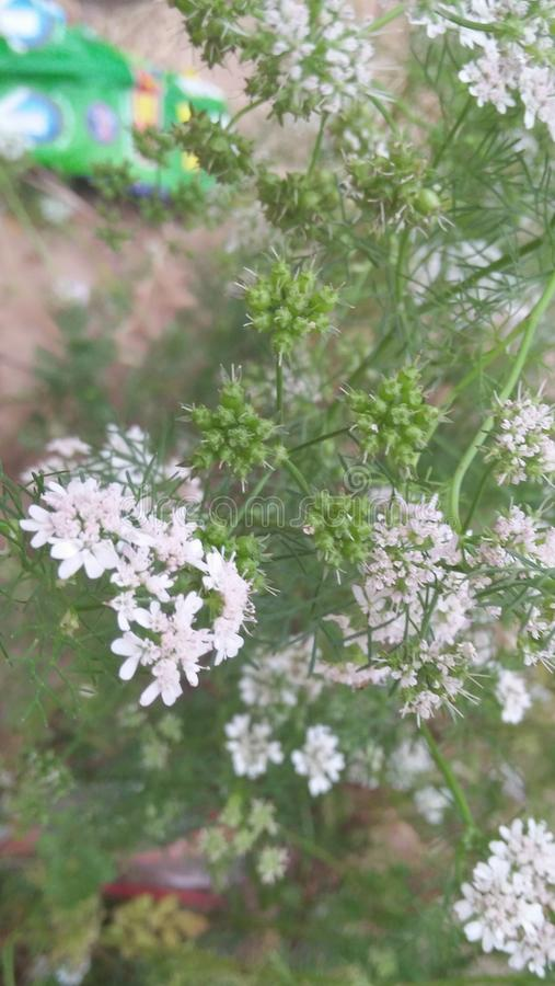 Semi verdi dei fiori bianchi fotografie stock