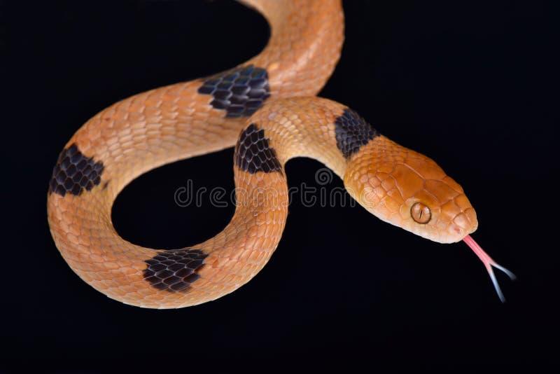 Semiannulatus africain de Telescopus de serpent de tigre image stock