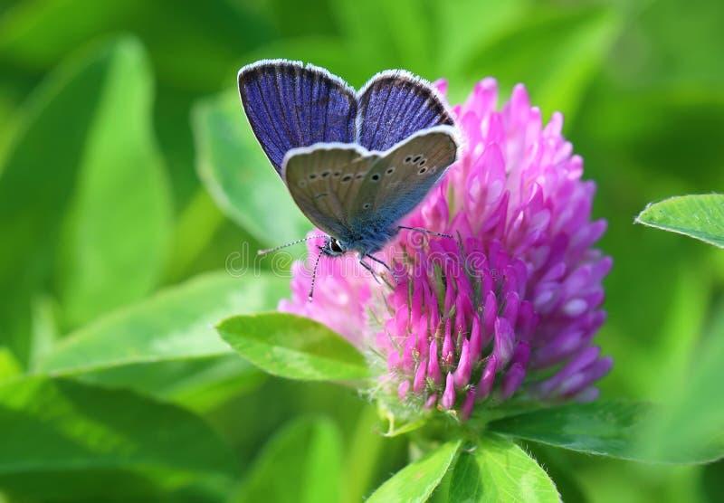 Semiargus de Cyaniris Un mâle d'un papillon sur une fleur photographie stock