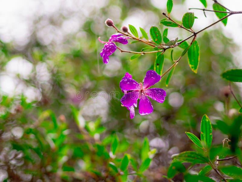 Semidecandra roxo de Tibouchina das flores da princesa do close up com as folhas verdes no jardim imagens de stock royalty free