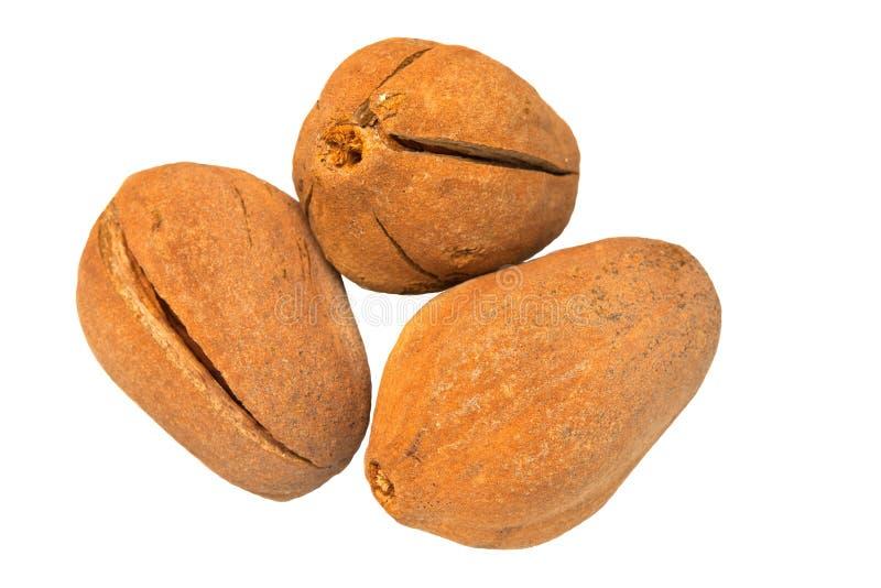 Semilla de caoba aislada en blanco, caoba de la hoja amplia en la buena fruta de la hierba para el tratamiento sano fotos de archivo libres de regalías