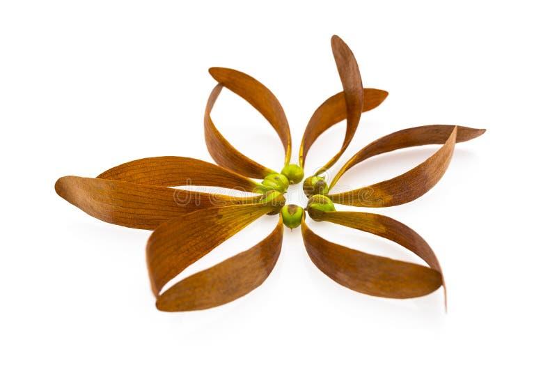 Semilla de Dipterocarpus Curtisii foto de archivo libre de regalías