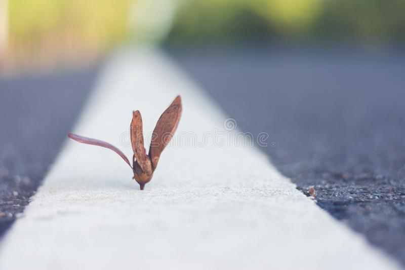 Semilla del árbol de Yang Na en la calle foto de archivo
