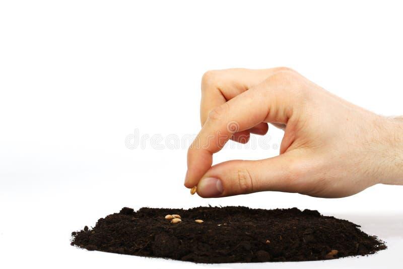 Semilla del trigo del sembrador de la mano del hombre en tierra imágenes de archivo libres de regalías