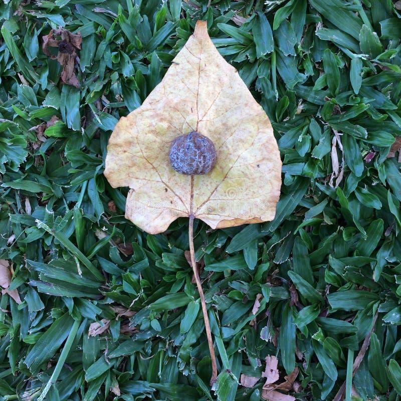 Semilla en la hoja muerta en macro hawaiana del concepto del fondo de la hierba imágenes de archivo libres de regalías