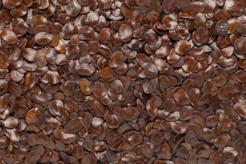 Semilla híbrida orgánica de la teca (monosperma del Butea) fotos de archivo
