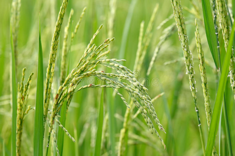 Semilla joven del arroz imágenes de archivo libres de regalías