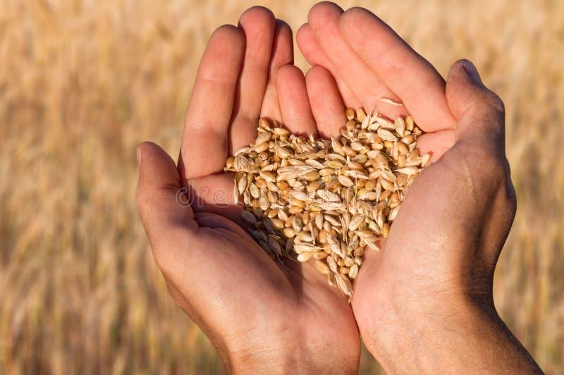 Semilla madura de la haba del trigo en manos del granjero fotografía de archivo