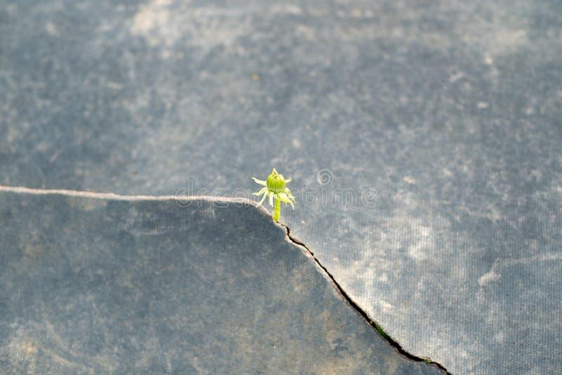 Semilla que crece con concepto de la ecología del pavimento de la grieta Brote de levantamiento en la tierra seca foto de archivo libre de regalías